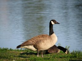 Canadian Goose by Michies-Photographyy