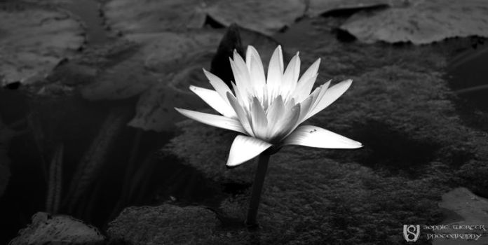 Water Lily by Benik0