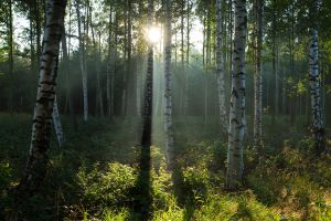 birch trees by kattwo