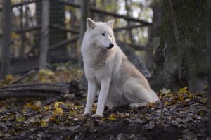 New White Wolves 9 by Lakela