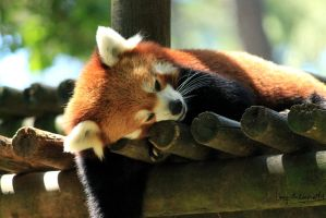 Red Panda by Linay-stock