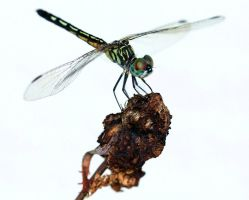 Dragonfly by peimar