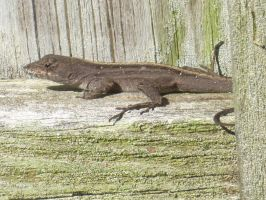 Brown Anole 19 by AxelHonoo