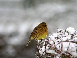 Yellowhammer in winter. by merris1