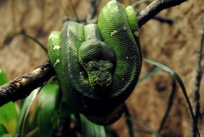 Emerald Tree Boa by JayConstrictors12