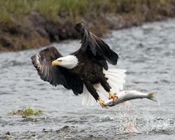 Eagle Fishing by mercorex
