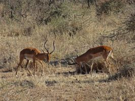 Impala Sparring I by Track-Maidens