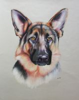 Bo German Shepherd portrait by corienb