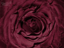 Red Rose by MauiMelle