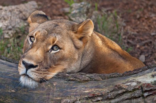 Lioness 0128 by robbobert