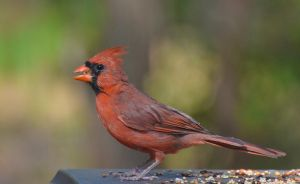 Male Cardinal 9-9-11 by Tailgun2009