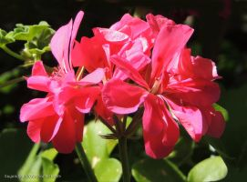 Deep Pink Geranium by kayandjay100
