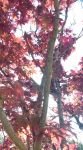 Japanese Maple by AnimalPlantLearner