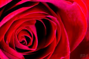 Red Rose by mhmalali