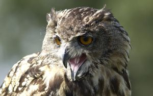 Eagle Owl by THEDOC4