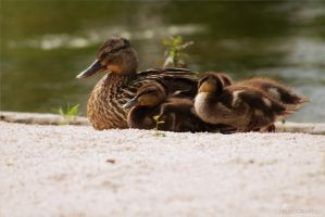 Duck family by followheART