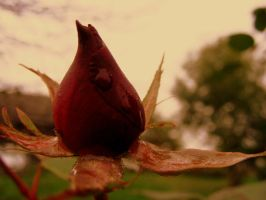 autumn rose by calavene