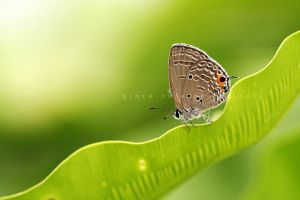 The Butterfly by grace-note