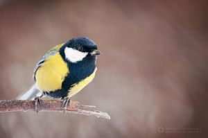 Titmouse by Zheltkevich