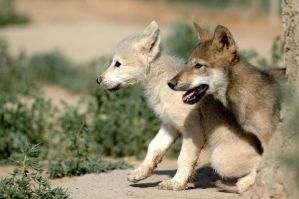 Scouting wolf cubs by Nieme