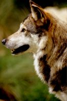 Mexican Wolf by Art-Photo