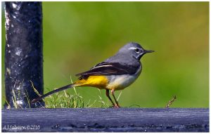 Grey Wagtail by andy-j-s
