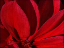 Red Petals by Lazytea