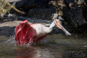 Spoonbill's having a bath by Wolfling01