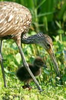 Limpkin Chick with Mom 4 by Kippenwolf