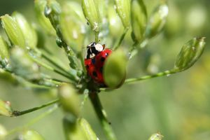 Ladybug on Dill by MaiaQQ