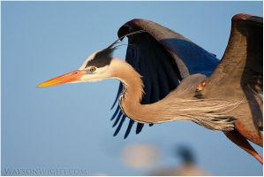 Blue Heron by tourofnature