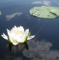 Nymphaea odorata - American White Waterlily 1 by OrioNebula