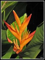 birds of paradise by pusakal1402