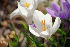 White Crocus II by TheBirdsFeathers
