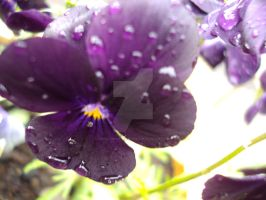 Close-up Purple Pansy Blur by DeadlyNightshade282