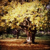 Autumn Yellow Tree by lostknightkg