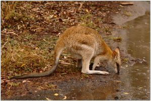 Wallaby in the rain 1 by wildplaces