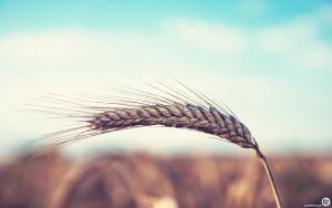 wheat by NYClaudioTesta