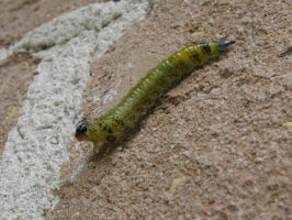 Caterpillar by L-W-P