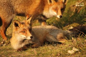 Vulpes Vulpes II by blizzard2006