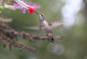 humming bird by pmiccich