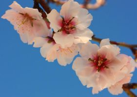 Almond Flowers_1 by ximocampo