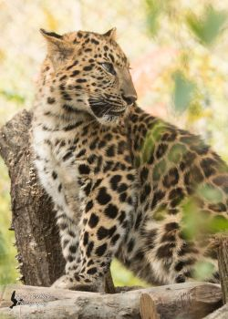 Leopard 3 by EdgedFeather