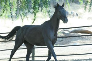 Black Thoroughbred Gelding Stock by HorseStockPhotos