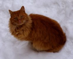 FireFox Cat in Snow by borda
