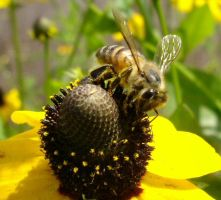 Bee on Flower 3 by SalsolaStock