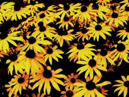 black eyed susan. by retrobishojo