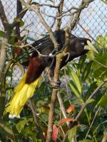 Crested Oropendola by SSJGarfield