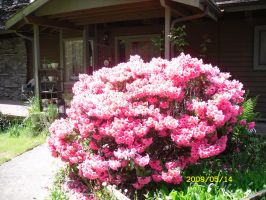 Rhododendron in the front of the house by GeneralDurandal