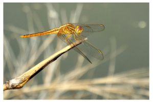 Dragonfly on bamboo by kiew1